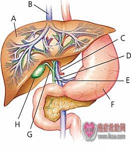 肝的解剖图解