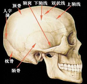 颅骨侧面-脑部解剖