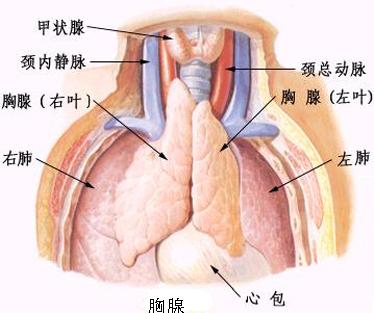 胸腺的解剖结构