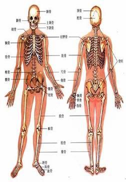全身骨骼系统的解剖结构与检查