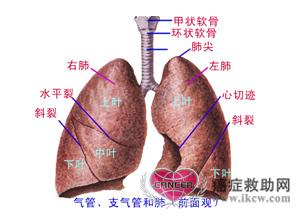 肺部在哪个位置图解-在肺表面仍可见小叶底部轮廓,每叶肺约50~80个肺小叶.它们是肺的