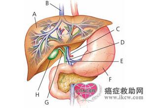 肝脏的结构与生理功能